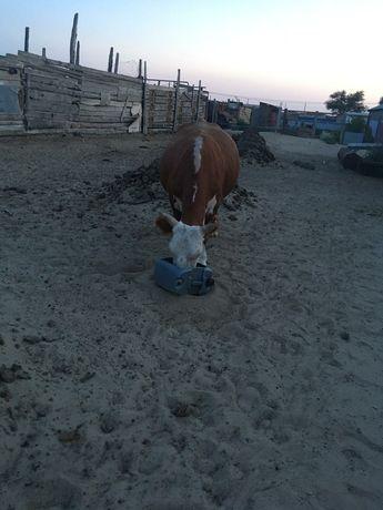 Корова продается