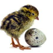 Vand oua de prepelita Japoneze, fecundate pentru incubat,