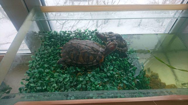 Черепахи пара