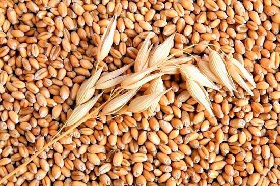 Пшеница первый урожай