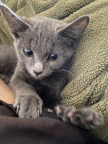 русская голубая кошка (кот)