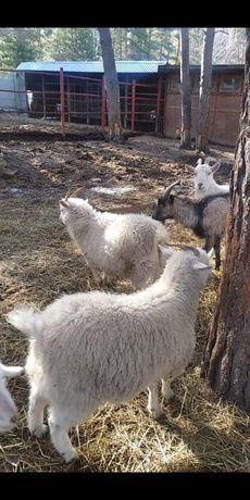 Продам молочных коз.