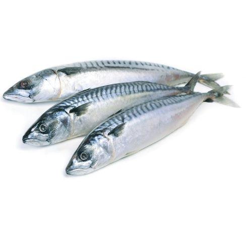 морская рыба скумбрия