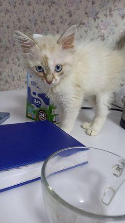 Сиамская красавица (котенок-девочка) ищет семью