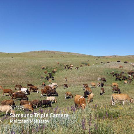 Продаётся коровы