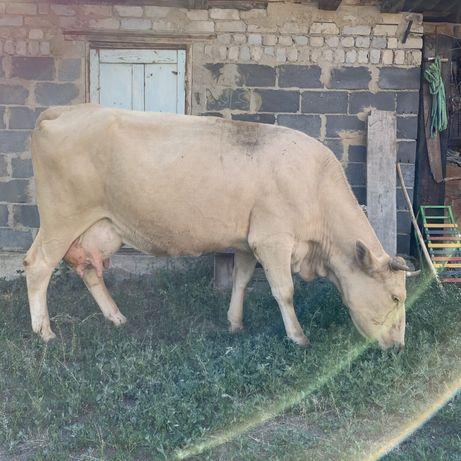 Продам дойных, молочных коров
