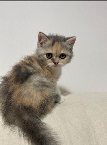 Pisicuța scottish straight