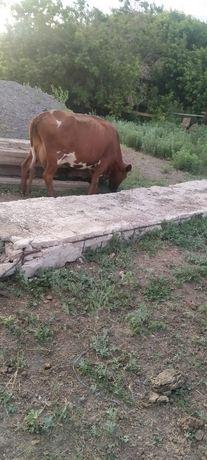 Продам корову. Торг возможен