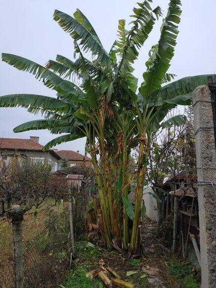 Продавам бананови палми