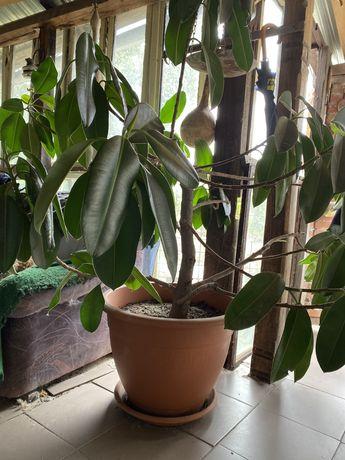 Planta ornamentala-ficus