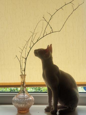 Продам милых белоснежных котят