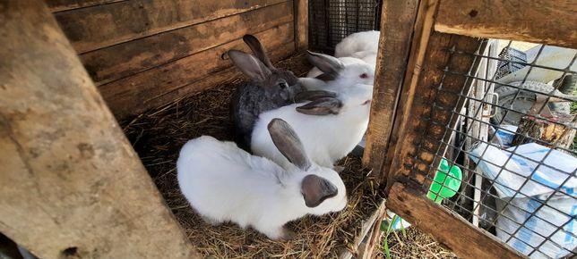 Продам кроликов Калифорния, шиншыла