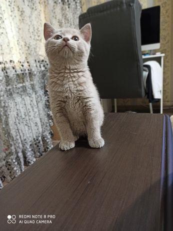 Котенок Британский котенок с документами 2 мес крупный