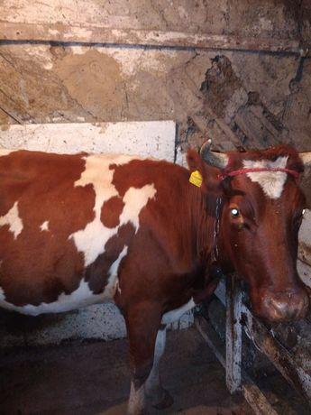 Продам корову молочного направления