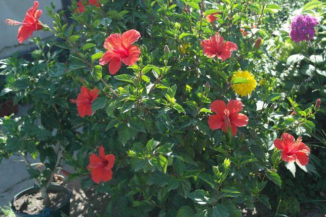 продам домашние шикарные гибискусы непрерывного цветения