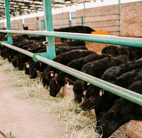 Продаются бычки, тёлки, нетели, коров, телята, абузау, КРС, МРС БЫК747