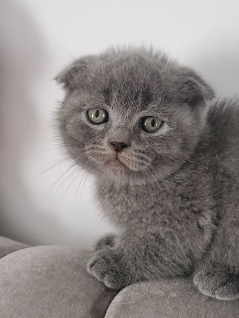Pisicuțe British Shorthair/Scottish Fold