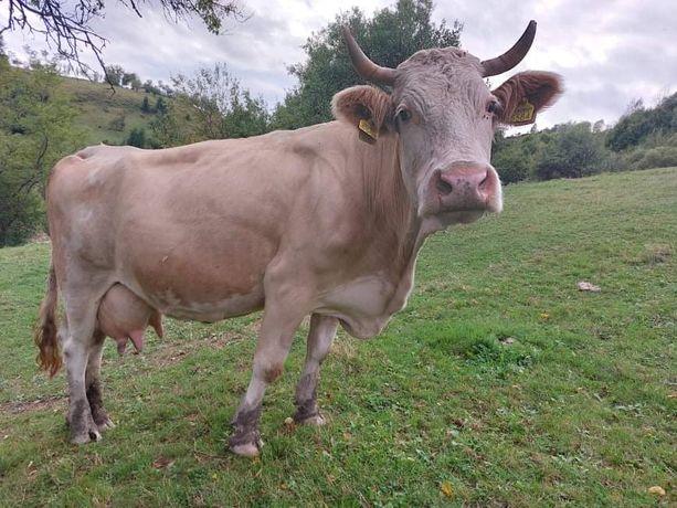 Vaca de vanzare cu vitel