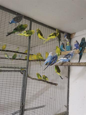 Papagali peruși.