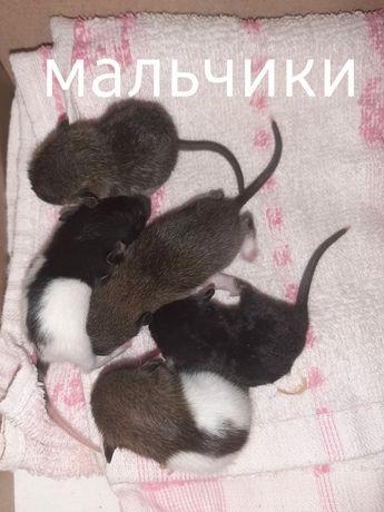 Очаровательные крысята.)