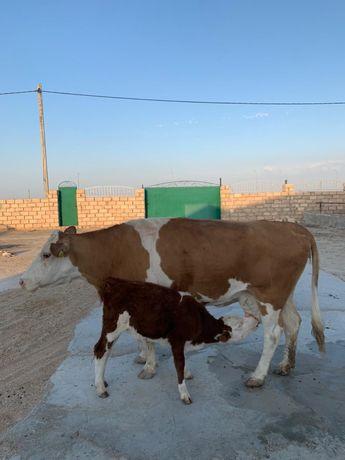 Корово сыйр бузаумен