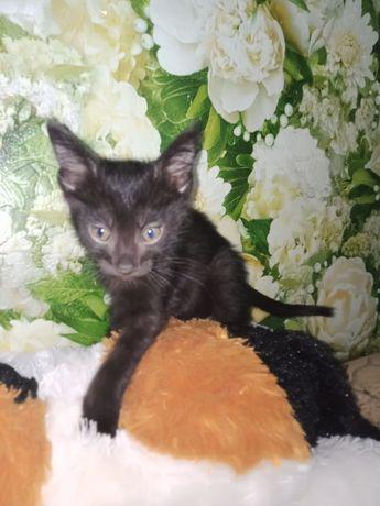 Котёнк 2 месяца мальчик