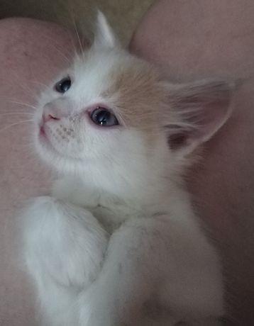 Отдам котенка бело рыжий, пушистый