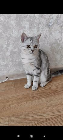Британский кот. Вязка