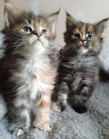 Чистокровные котята Мейн-кун