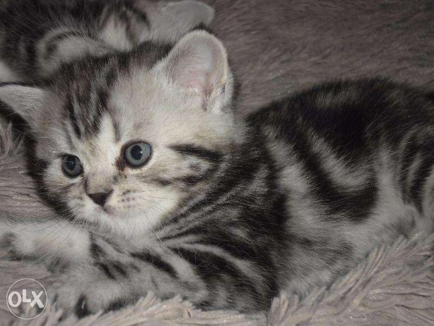 """Питомник британских кошек """"Шерхан""""предлагает к продаже котят."""