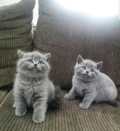 Шотландские котята, 2 девочки, 2 мальчика, с документами!