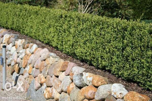 Producator Butasi plante ornamentale de gradina, Buxus, Tuya, Gard viu
