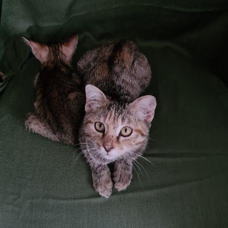 Бесплатно породистая котенок + доставка