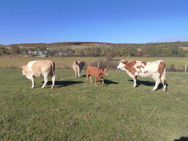 vand 3 vaci si o viteaua