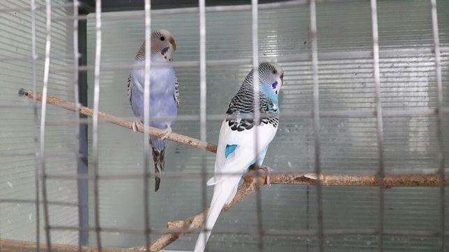 Pereche papagali peruși foarte vioi