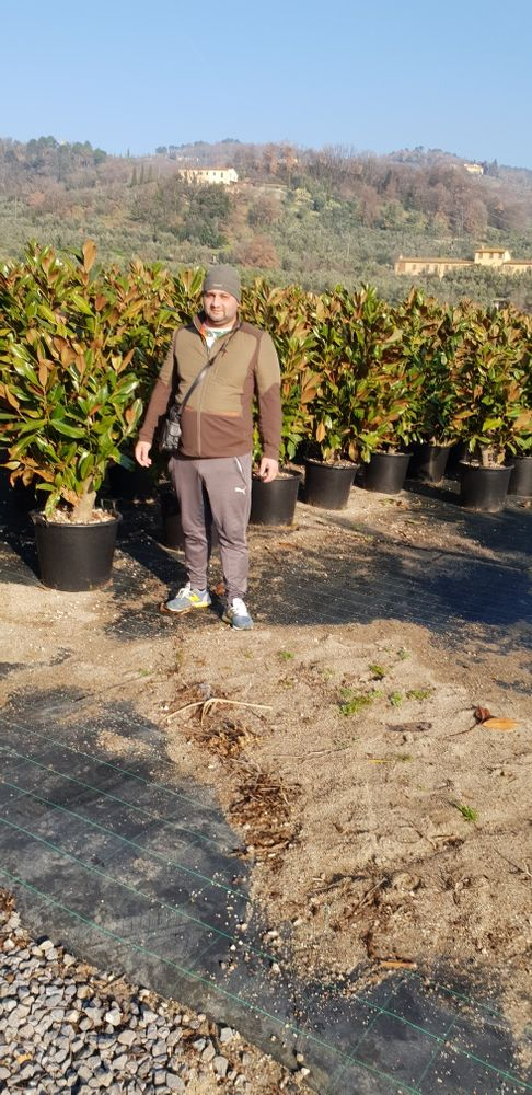 Vindem magnolie grandiflora si palmieri care rezistă la îngheț Bucuresti - imagine 1