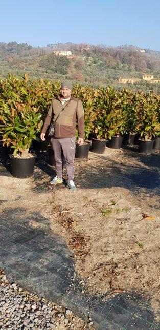 Vindem magnolie grandiflora si palmieri care rezistă la îngheț