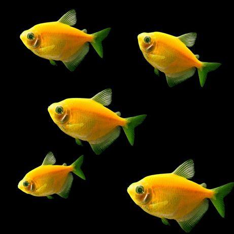Продам - тернеция гло желтая