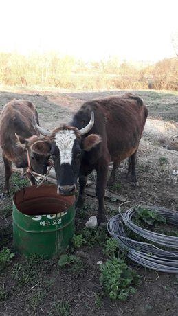 Продам корову и теленка (девочка)