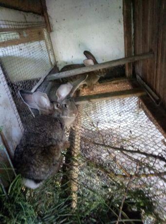 Кролики великан фландер