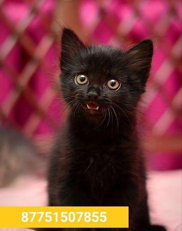 В добрые руки шотландские скоттиш-страйт котята девочка и мальчик
