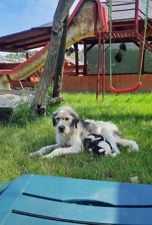 Caine ciobanesc pentru adoptie