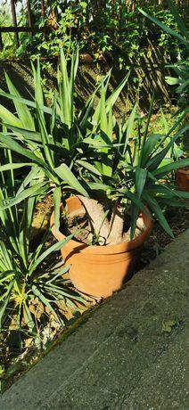 Planta Yukka de vanzare