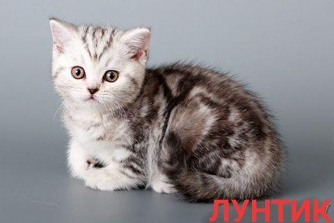 Лунтик-британский котенок окрас лиловый мраморный