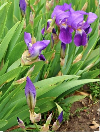 Stanjenel - Iris - bulbi maturi