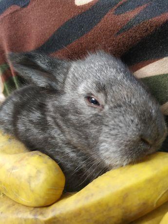 Продается кролики Великаны