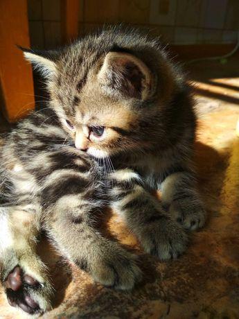 Продам котёнка-британец.