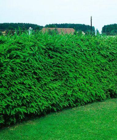 Gard viu de brad / molid ( permanent verde )