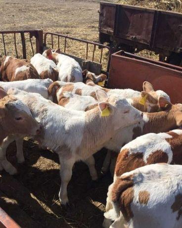 Коровы крс актабас бычки телята плем крс ангусы семинталы белоголовые