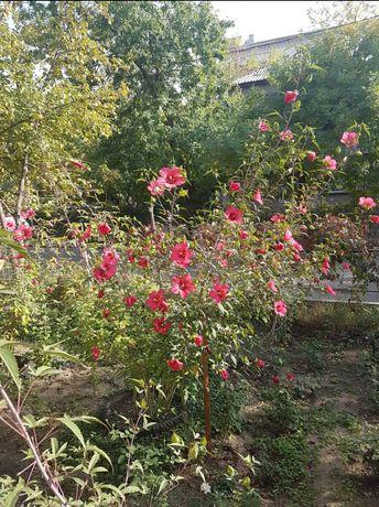Продам цветы Гибискус